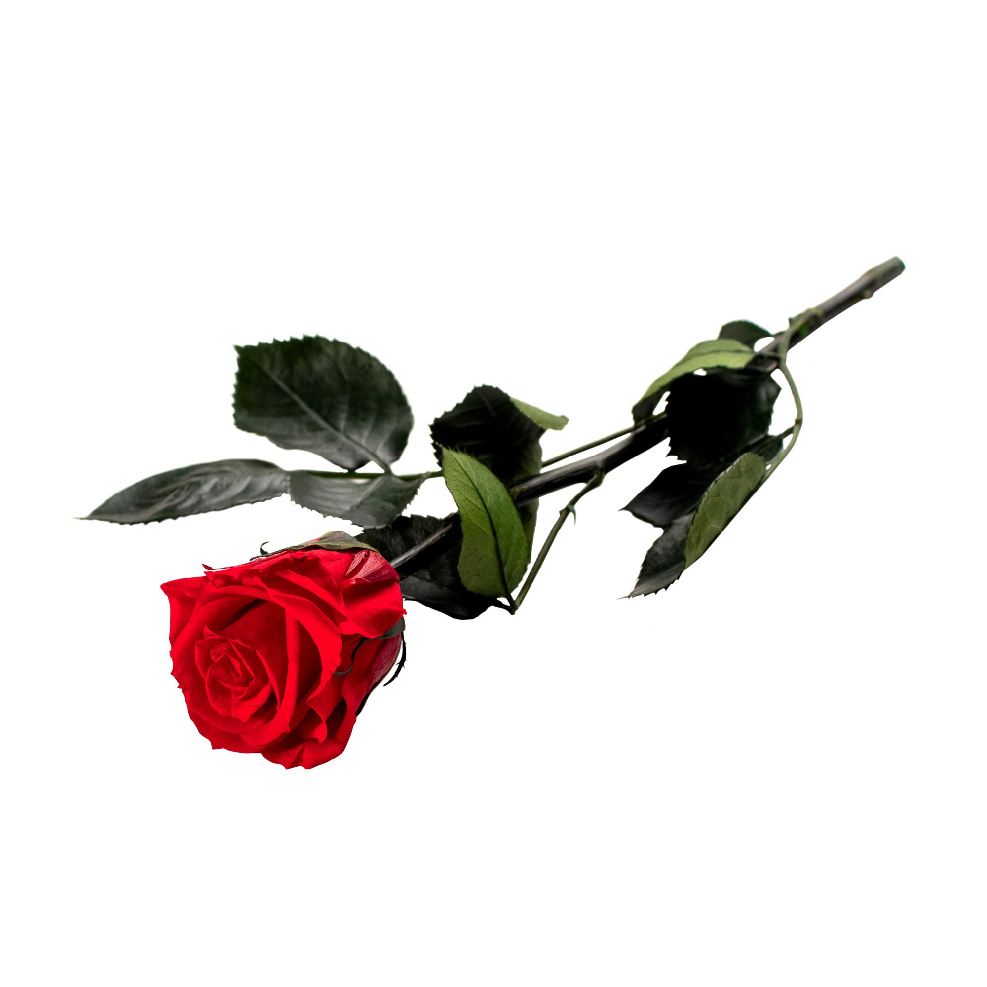 Unvergängliche Rose